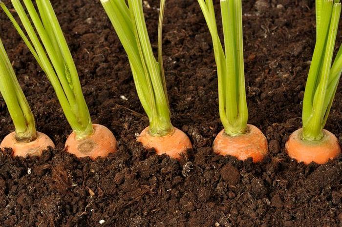 Элементарный способ посева моркови без прореживания. Первые всходы через 3 дня!
