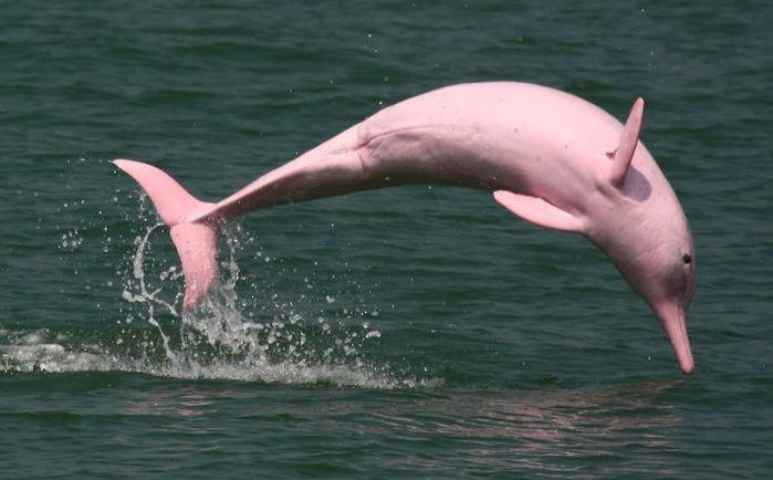 Легендарного розового дельфина всё-таки удалось заснять на видео!