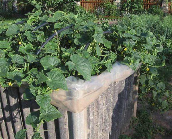 Дачнику на заметку: куб для огурцов. Урожай с июня по сентябрь из 9 семечек!