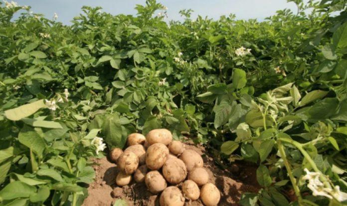 Что обязательно нужно сделать с грядкой после уборки урожая картофеля?