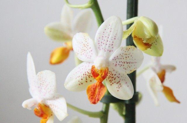 Ваша орхидея будет цвести круглый год! 7 важных секретов помогут вырастить невероятные орхидеи