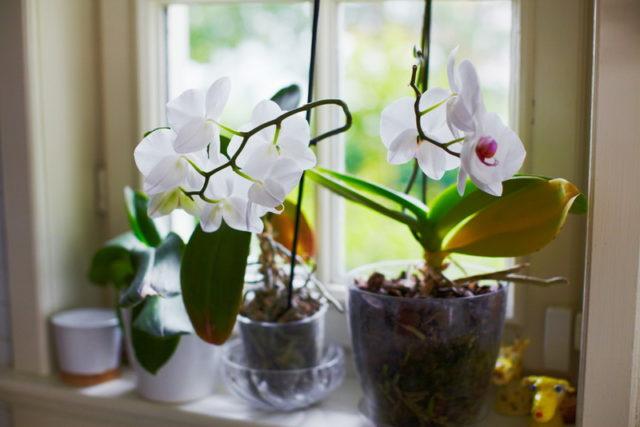 Этот способ поможет из одного цветка орхидеи получить сотню!
