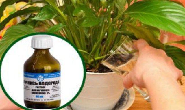 Перекись водорода для комнатных растений - настоящее чудо в холодное время!