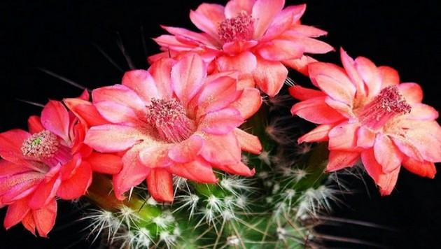 Домашняя магия. К чему цветёт кактус?